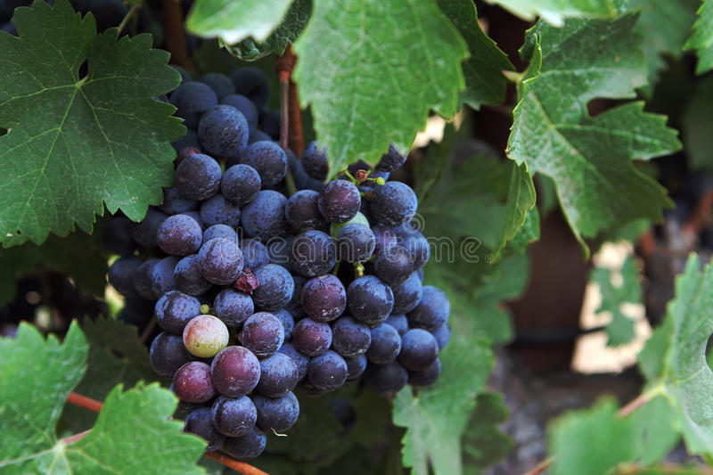 Wine Grapes. Organic wine grapes in Sonoma California stock photos
