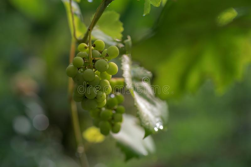 Wine grapes after the rain stock photo