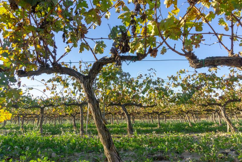 Wine grapes in Sant Sadurní d`Anoia, Spain. Wine grapes in cava district Sant Sadurni d` Anoia in Catalonia, Spain royalty free stock photos