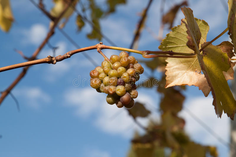 Wine grapes shrivel on vine. Green grapes for white wine ripen and shrivel on vine with leaves in vineyard in Oregon state, Willamette Valley stock image