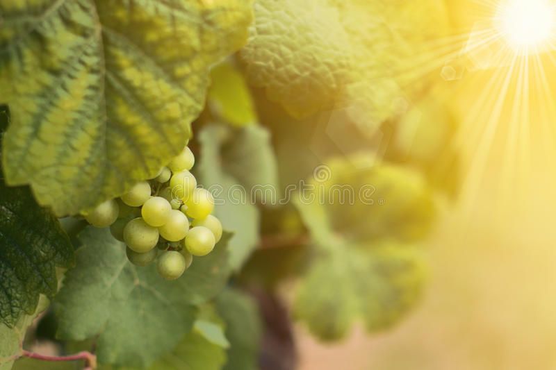 Wine grapes in summer time. Vineyard stock images