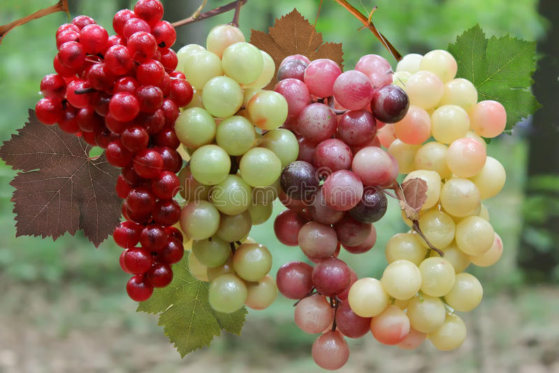 Wine Grapes on the vine. Various wine Grapes on the vine royalty free stock photos
