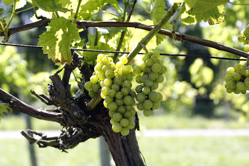 Wine grapes in vineyard royalty free stock image