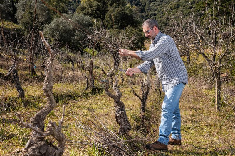 Winegrower works at pruning in an old vineyard. Caucasian farmer at work in an old vineyard, performs the pruning of the vine with professional scissors royalty free stock photos