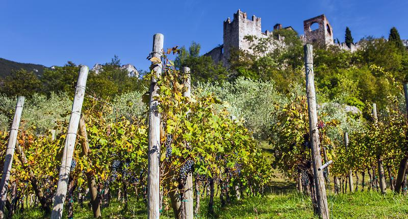 Wine growing at Castello di Avio Trento. Italy stock image