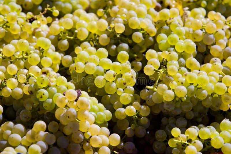 Wine harvest. In Czech Republic stock photography