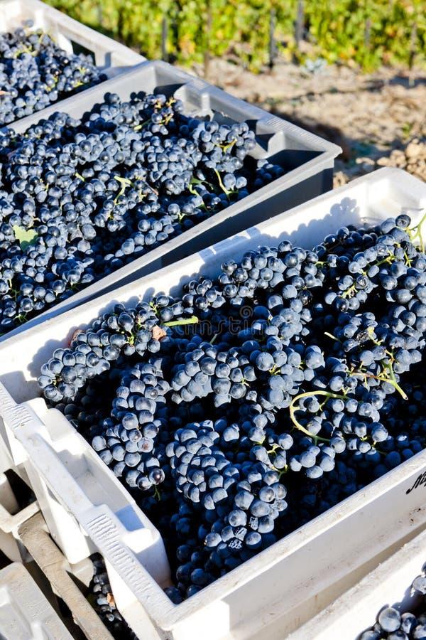 Wine harvest stock images