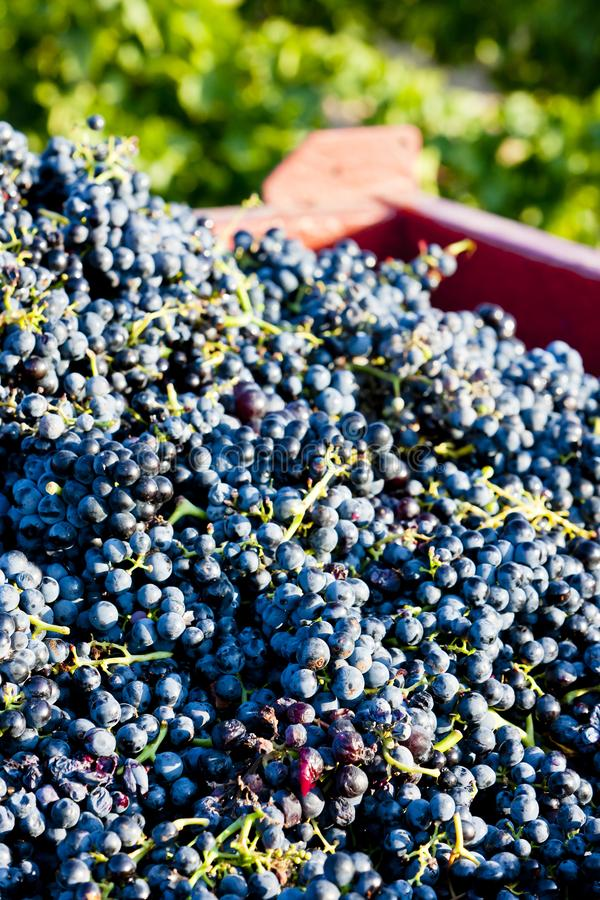 Wine harvest in Fitou appellation, Languedoc-Roussillon, France. Outdoors, outside, exteriors, aude, department, agriculture, viniculture, viticulture stock images