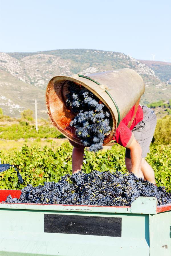 Wine harvest in Fitou appellation, Languedoc-Roussillon, France. Outdoors, outside, exteriors, aude, department, person, persons, people, work, working, picker stock image