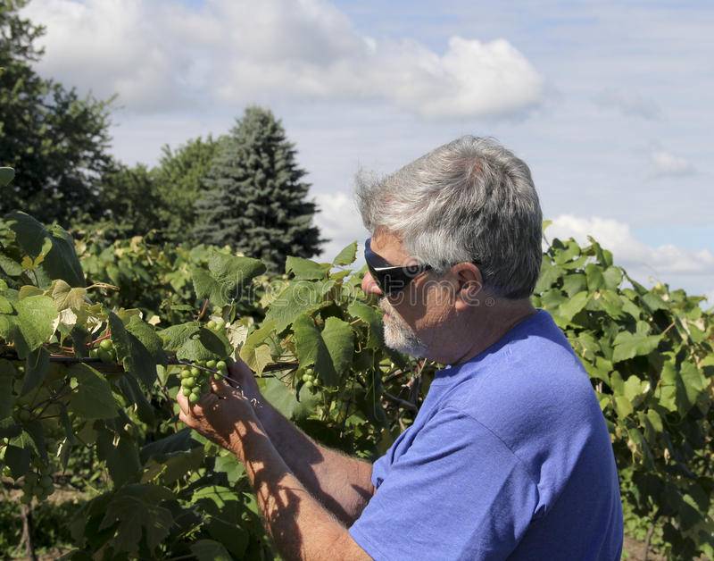 Wine maker inspecting grapes. Wine maker inspects his grapes in a vineyard royalty free stock images