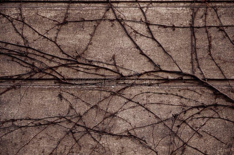 Wine ou a planta do rastejamento na construção velha da parede do cimento do grunge para ho imagem de stock