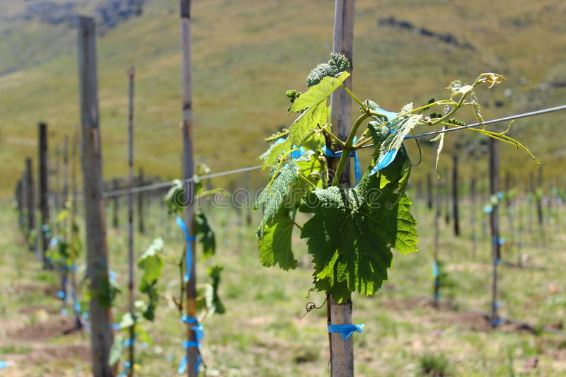 Wine plantation. Wine Plants at winery royalty free stock images