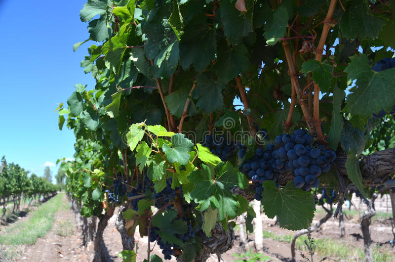 Wine production royalty free stock image