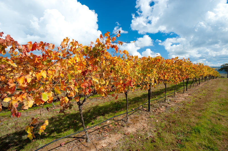 WIne Region near Canberra, Australia. This image shows colourful vines in the WIne Region near Canberra, Australia royalty free stock photography
