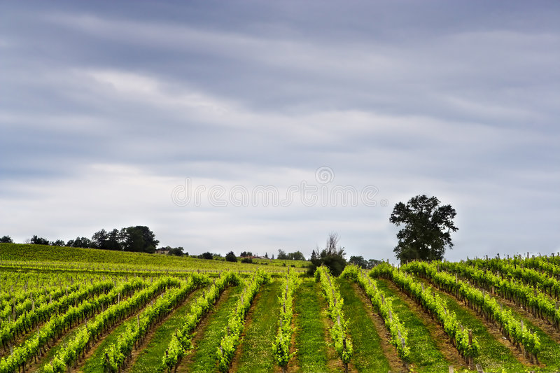 Wine rows royalty free stock photo