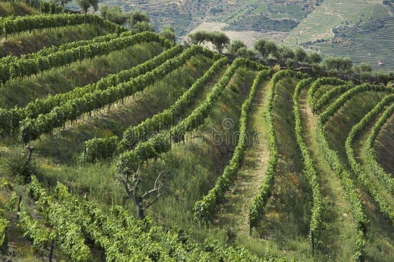 Wine terraces stock photo