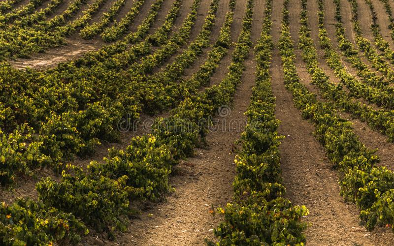 Wine vine yard royalty free stock photography