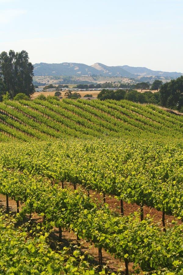 Wine Vineyard California royalty free stock images