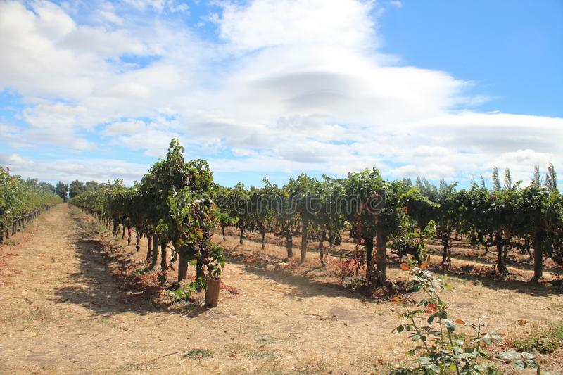 Wine vineyards in the Napa Valley area of California royalty free stock photography
