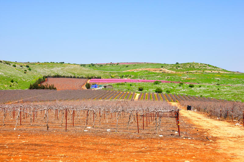 Wine Yard, Israel Stock Images