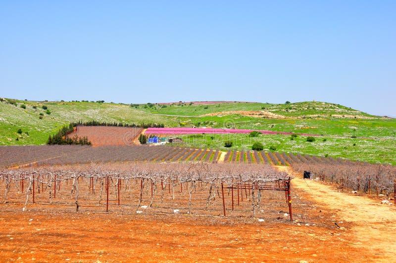 Wine Yard, Israel stock images