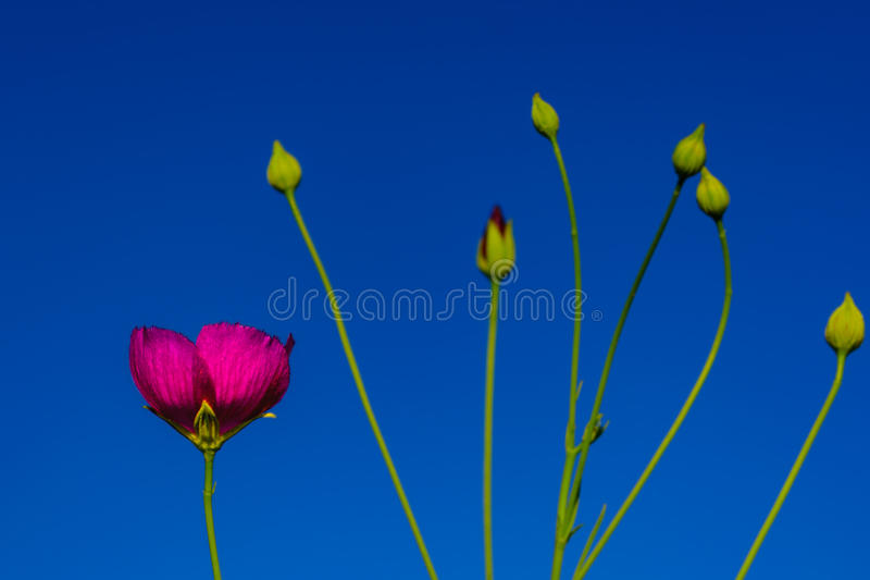 Winecup (Callirhoe involucrata) Texas Native Wildflower stock photography