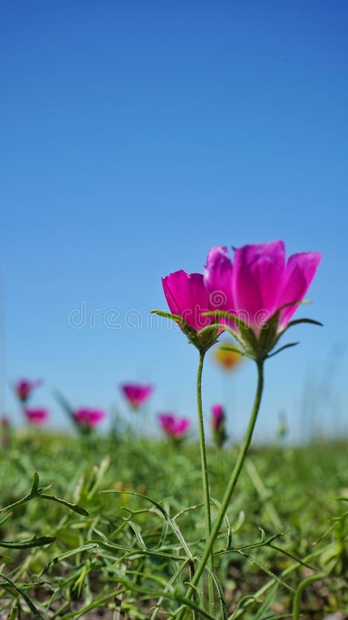 Winecup flowers. Texas spring flowers, also known as poppy mallows or prairie wine cups. They grow in many fields and roadsides royalty free stock image