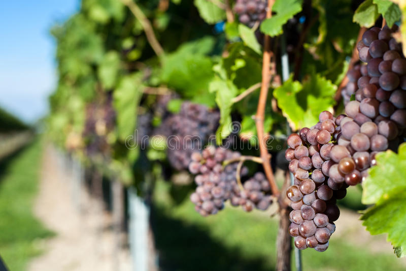 winegrapes στοκ φωτογραφία