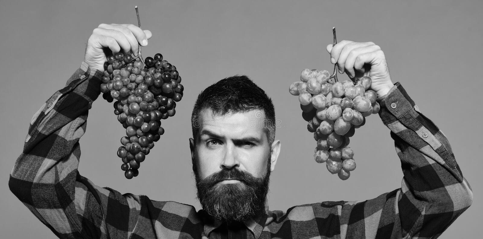 Winegrower with seductive face presents clusters of green and purple grapes. Man with beard holds bunches of grapes on. Winegrower with seductive face presents stock photo