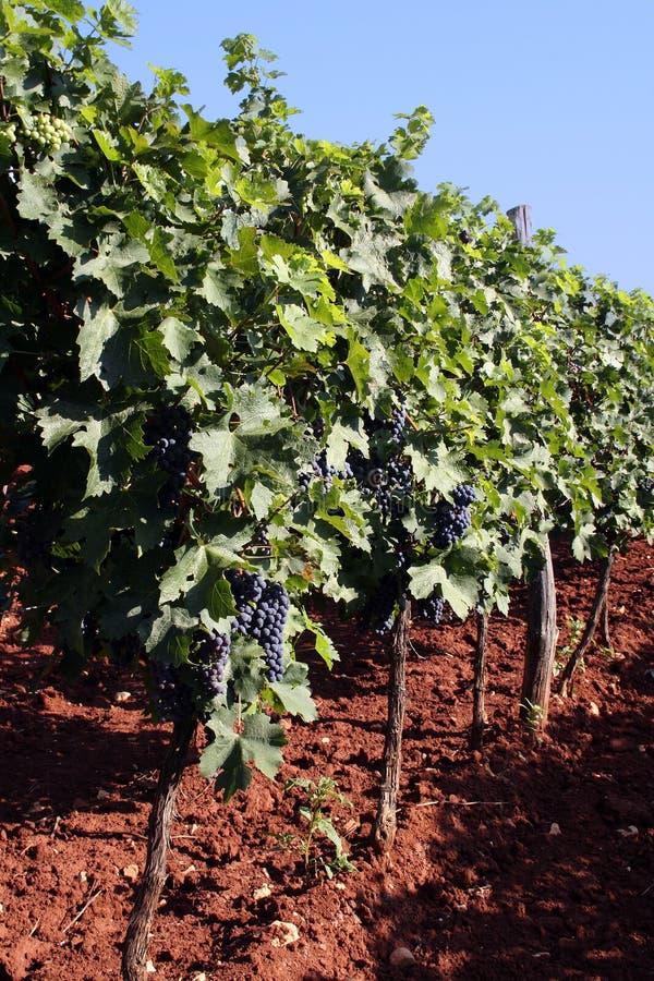 winegrowing royaltyfria foton