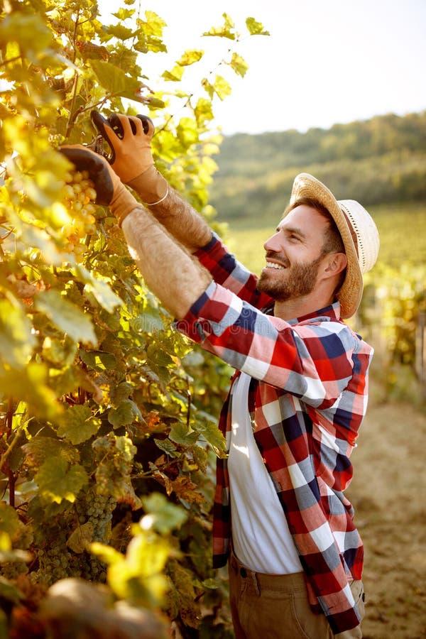 Winemaker coupant le groupe de raisins dans la coupe de vineyardwinemaker photo stock