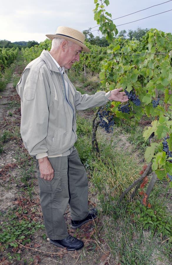 Winemaker no vinhedo fotografia de stock