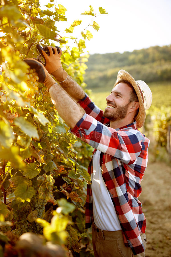 Winemaker que corta o grupo de uvas no corte do vineyardwinemaker foto de stock