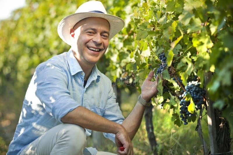 Winemaker que sorri no grupo da uva da terra arrendada de vinhedo imagem de stock royalty free