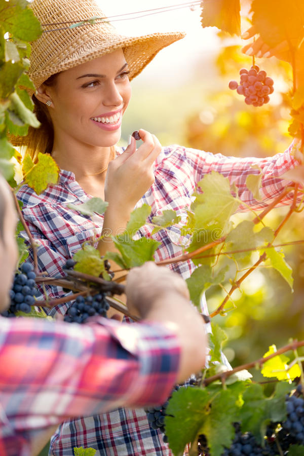 Winemakers που ελέγχει την ποιότητα σταφυλιών στοκ εικόνες