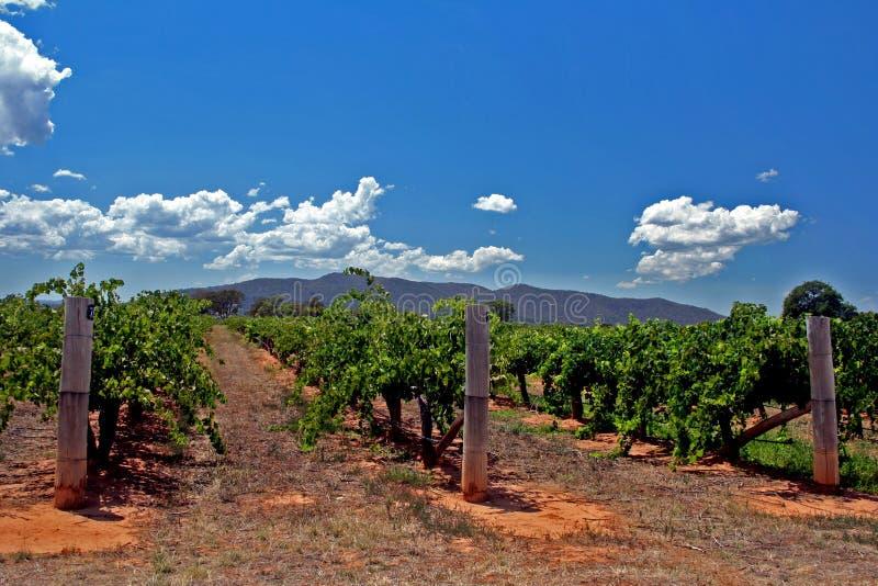 Wineplants stock foto's