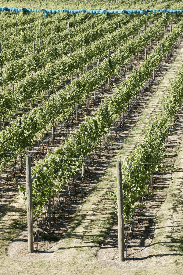 Download Winery stock photo. Image of vegetation, planted, okanagan - 15761534