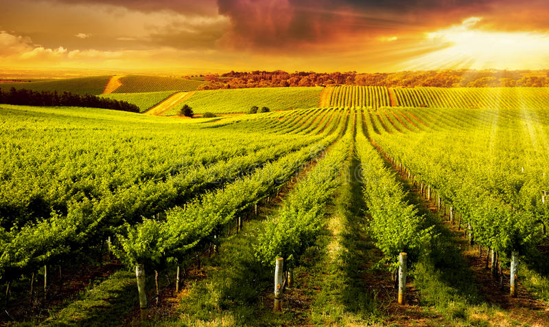 Download Winery Gold stock photo. Image of grass, agriculture - 33375106