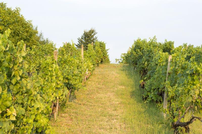 Wineyard在塞尔维亚 免版税库存照片