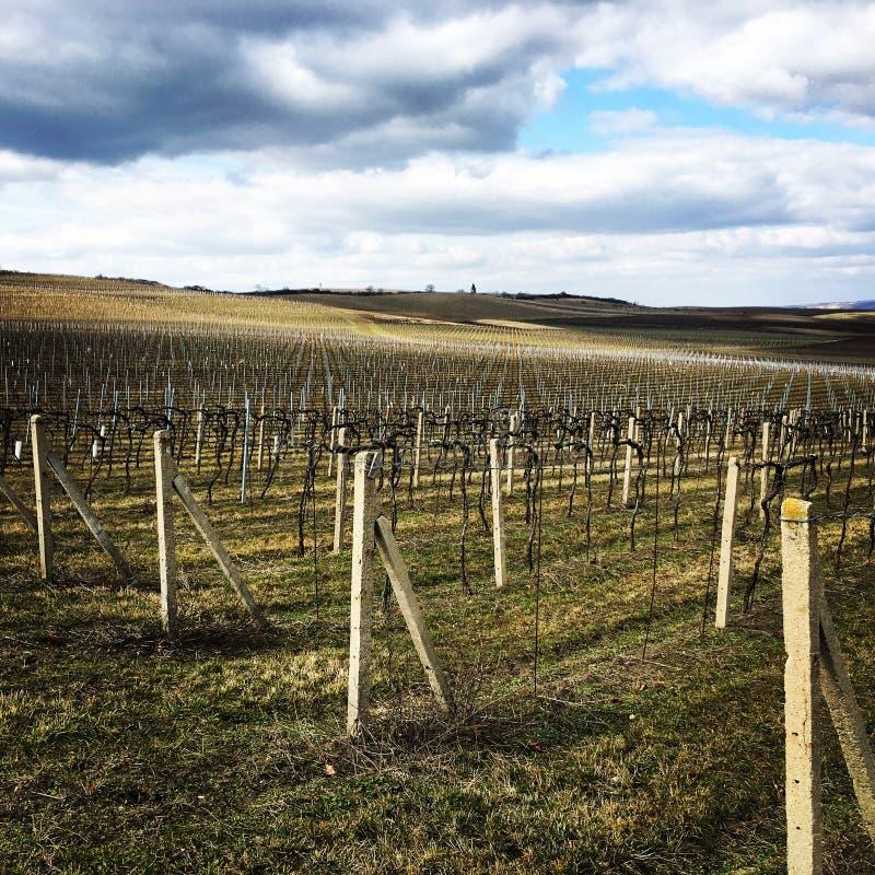 Wineyard fotografia stock libera da diritti