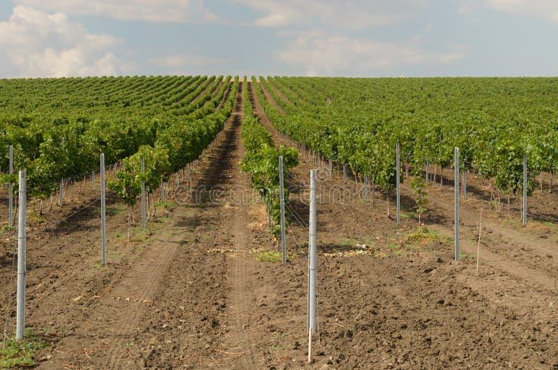 Wineyard stock afbeeldingen