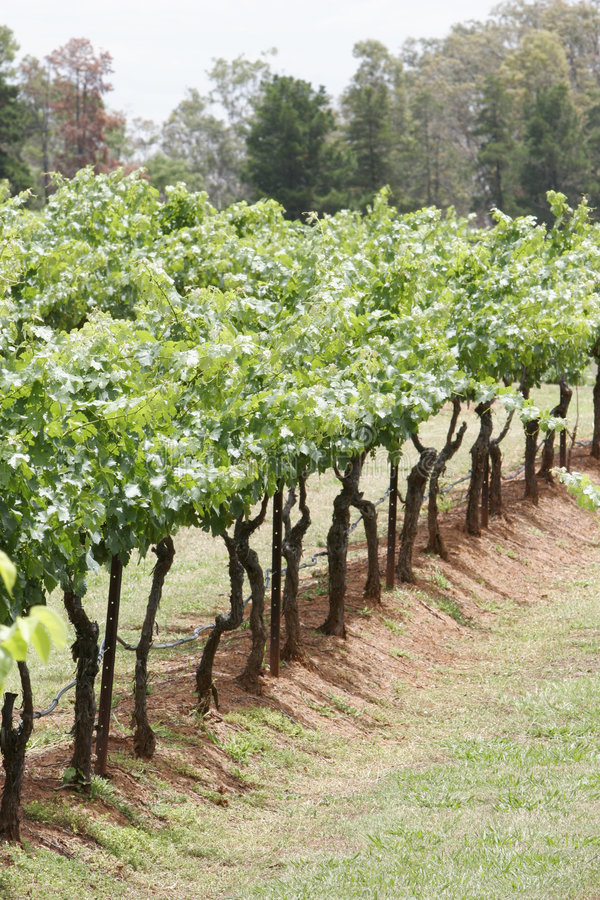Wineyard imagen de archivo