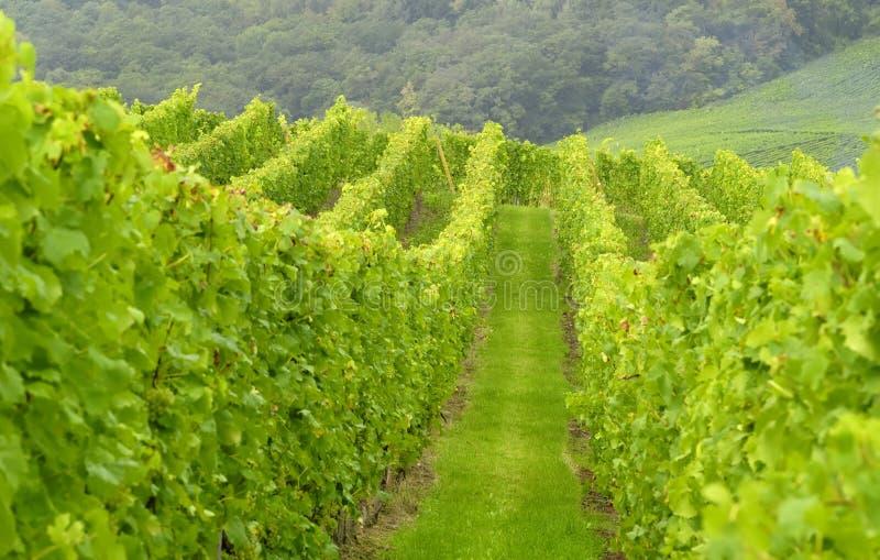 wineyard στοκ εικόνα με δικαίωμα ελεύθερης χρήσης