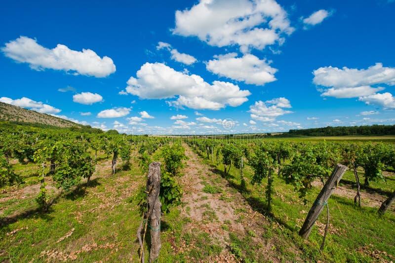 wineyard zdjęcie stock