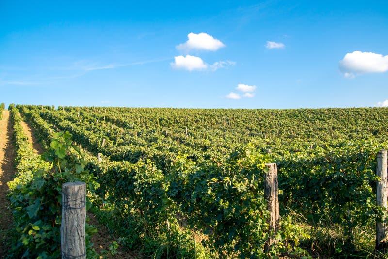 Wineyard 免版税图库摄影