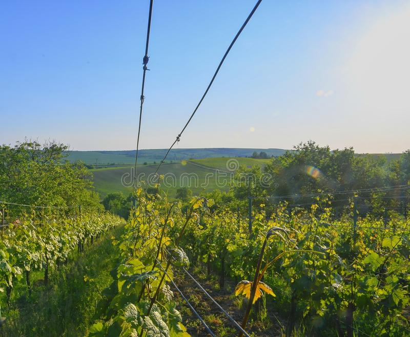 Wineyard alla molla Chiarore di Sun Paesaggio della vigna File della vigna alla Moravia del sud fotografia stock libera da diritti