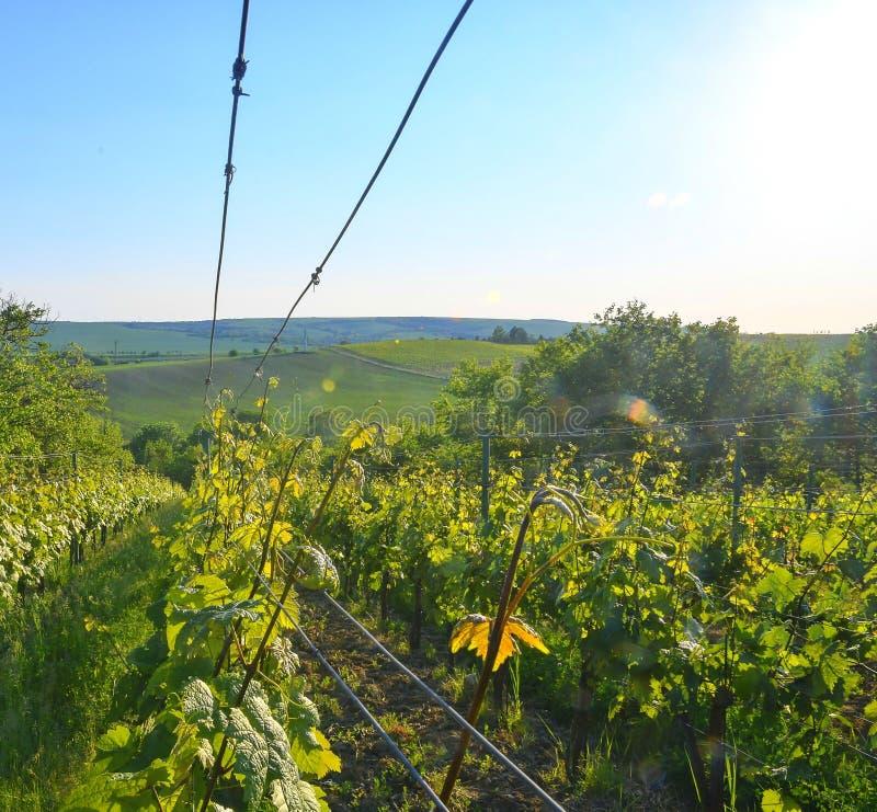 Wineyard alla molla Chiarore di Sun Paesaggio della vigna File della vigna alla Moravia del sud, repubblica Ceca fotografia stock