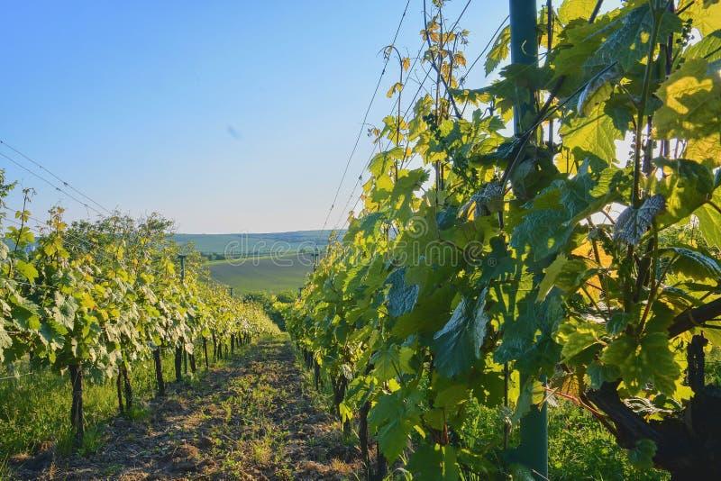 Wineyard alla molla Chiarore di Sun Paesaggio della vigna File della vigna alla Moravia del sud, repubblica Ceca fotografia stock libera da diritti