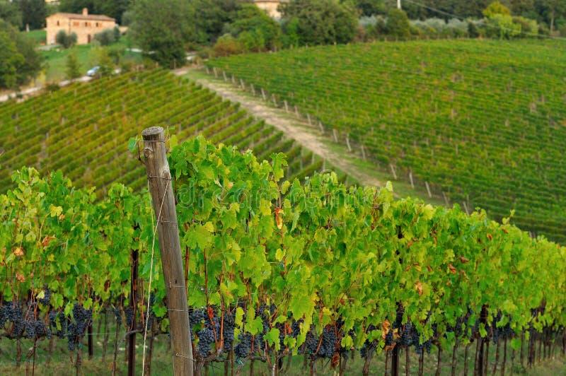 Wineyard in Chianti in Tuscany stock photo