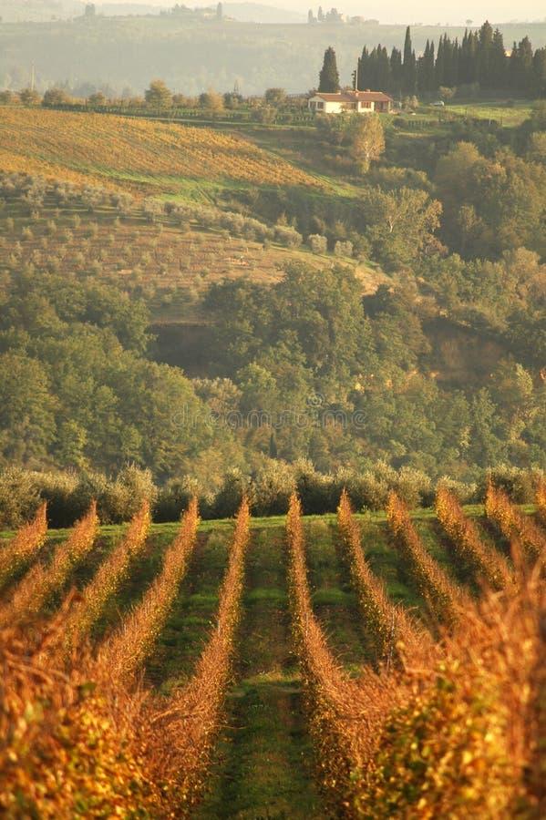 Wineyard del paisaje en la puesta del sol fotografía de archivo libre de regalías